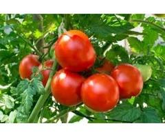 Fresh Tomatoes Germinate With John Deschauer