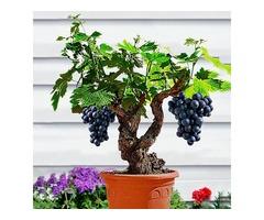 Egrow 50Pcs/Pack Grape Vine Seeds Organic Outdoor Sweet Fruit Seed Succulent Plants Indoor Bonsai