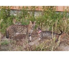 F5 TICA registered breeding male, and F6 kittens