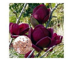 Egrow 10Pcs/Bag Magnolia Seeds Deep Purple Black Magnolia Yulan Tree Flower Tulip Tree Seeds